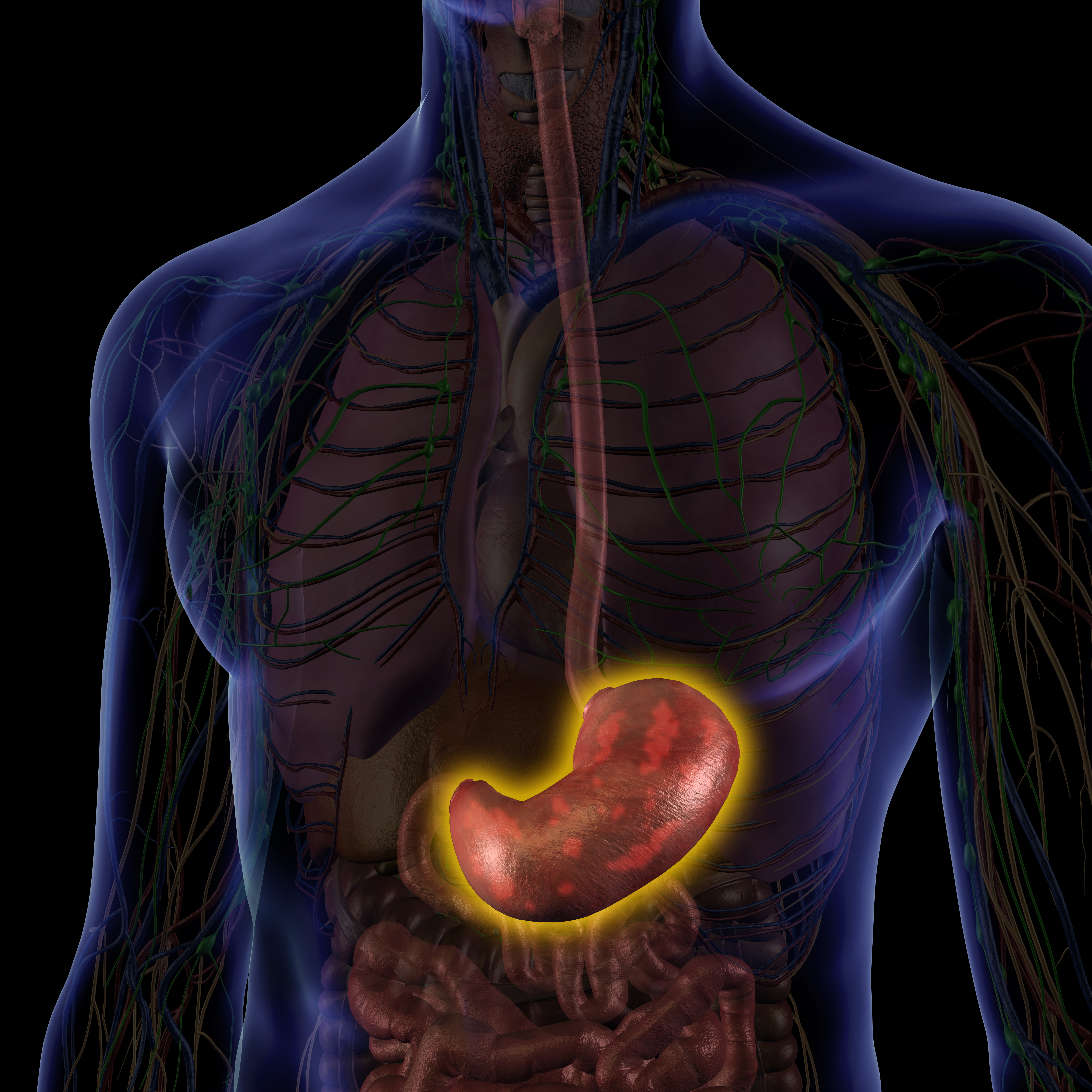 Male Internal Anatomy with Stomach Acid Highlighted