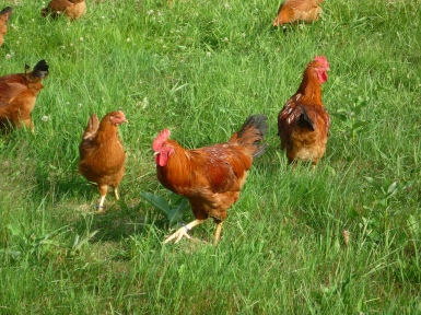 pasture raised chickens have low to no lectins in their meat