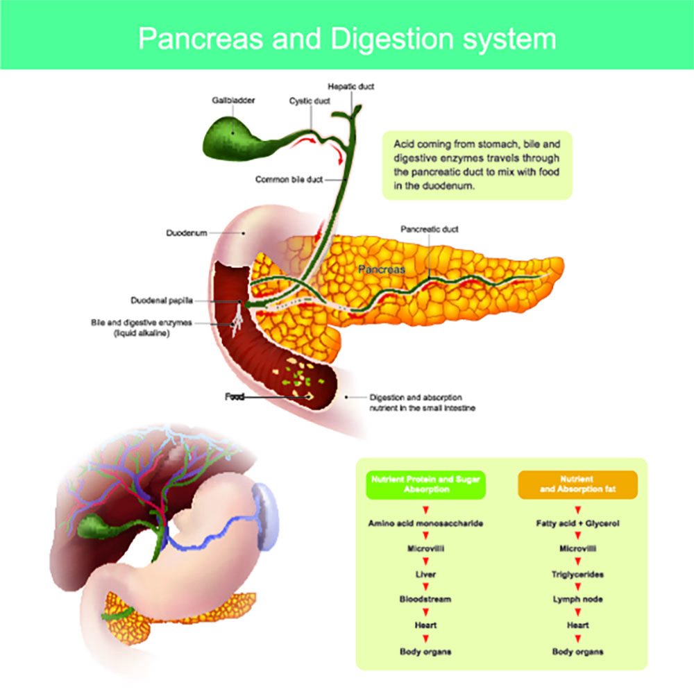 the digestive enzymes travel through the pancreatic duct to mix with food in the duodenum. The liver produces the bile . which is stored in the gall bladder to release into the small intestines.